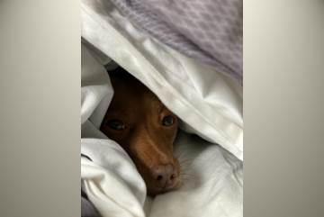 Brown dog poking head out from under duvet