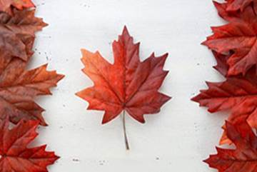 Red maple leaves in Canadian flag design